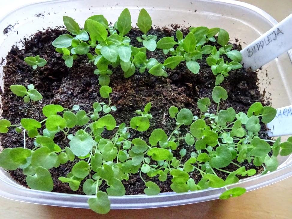 Davidi budleia (Buddleja davidii) ja karpaadi kellukas (Campanula carpatica) ootavad pikeerimist (külv 14.03.2020)