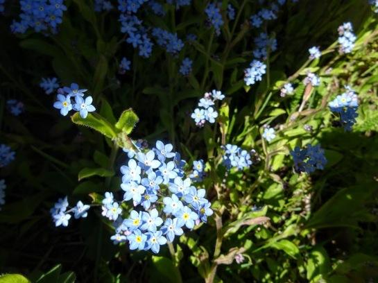 Mets-lõosilm ehk meelespea (Myosotis sylvatica)