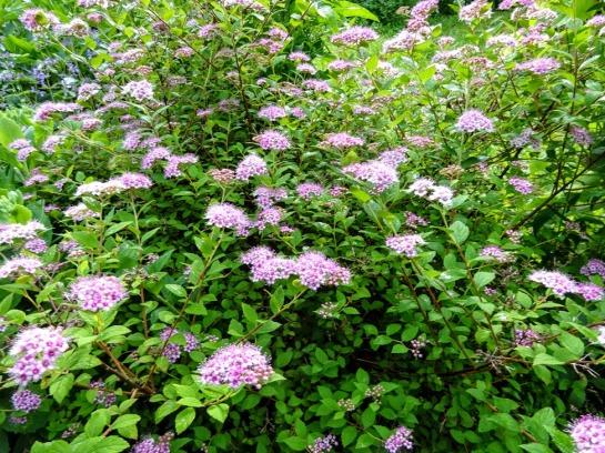 Jaapani enelas (Spiraea japonica) 'Little Princess' 6.07.2020 (2)