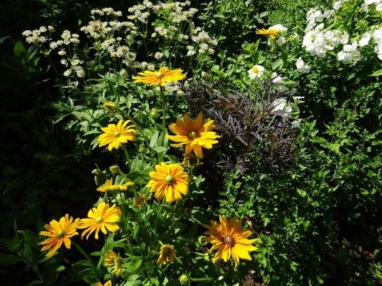 Karvane päevakübar (Rudbeckia hirta) 'Iris Spring' on iga päevaga ilusam, suur tähtputk (Astrantia major) lõpetamas