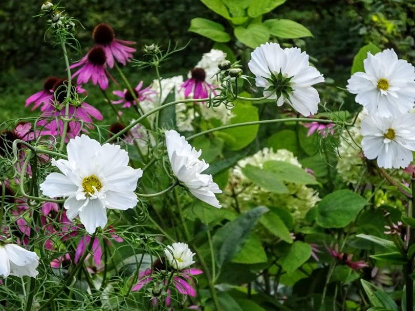 Kosmos (Cosmos bipinnatus) 'Psyche White', punane siilkübar (Echinacea purpurea), puishortensia (Hydrangea arborescens) 'Annabelle'
