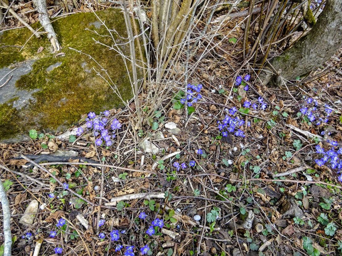 Harilik sinilill (Hepatica nobilis) naabrinaise aia taga