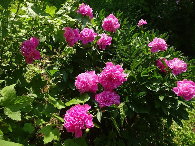 Vana roosa pojeng (Paeonia lactiflora) 'Edulis Superba' 20.06.2021